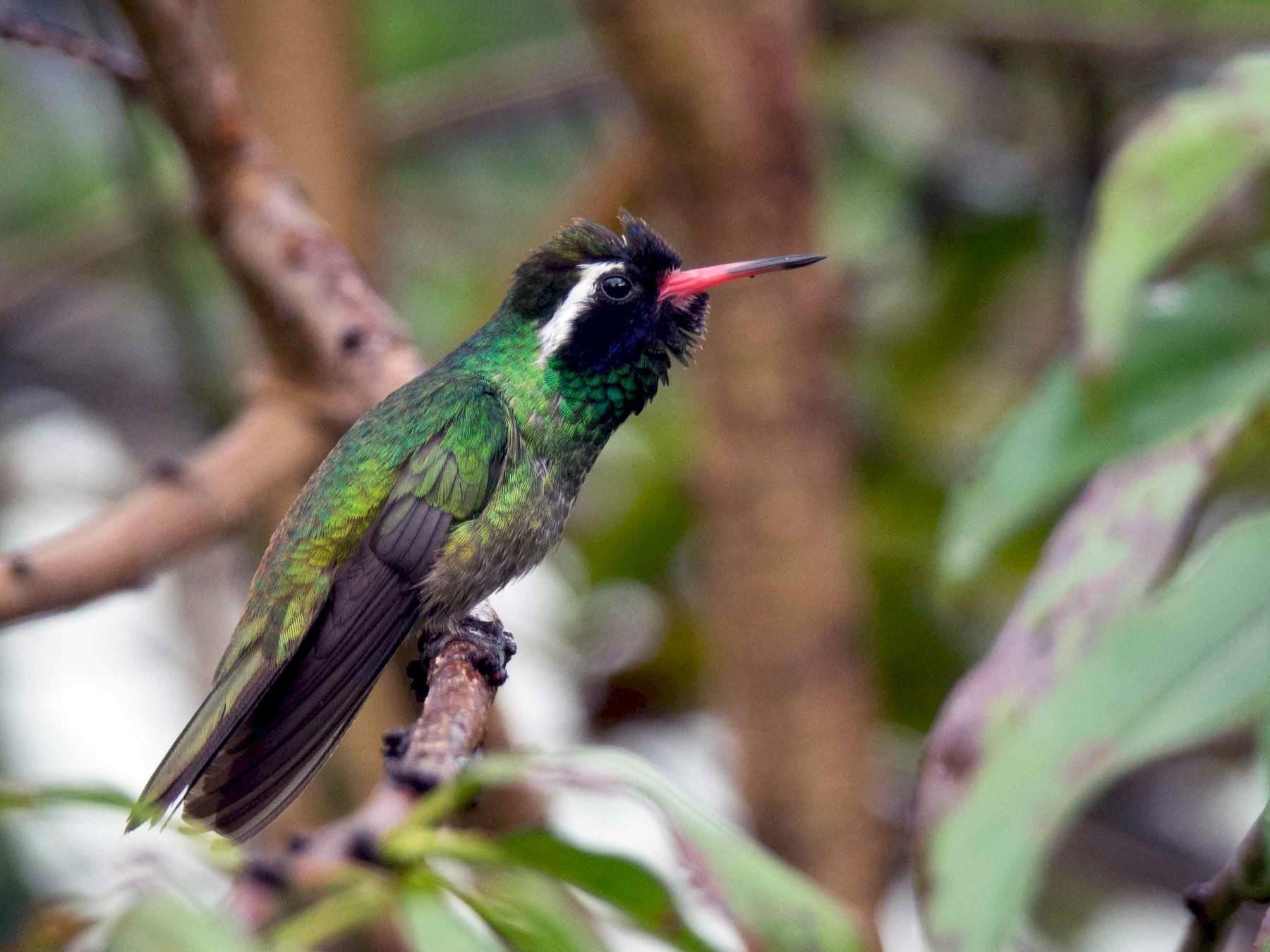 White-eared Hummingbird - Lynne Hertzog