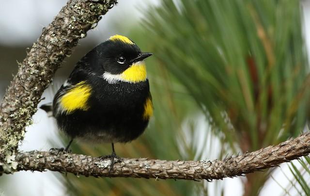 Yellow-rumped Warbler (Goldman's)
