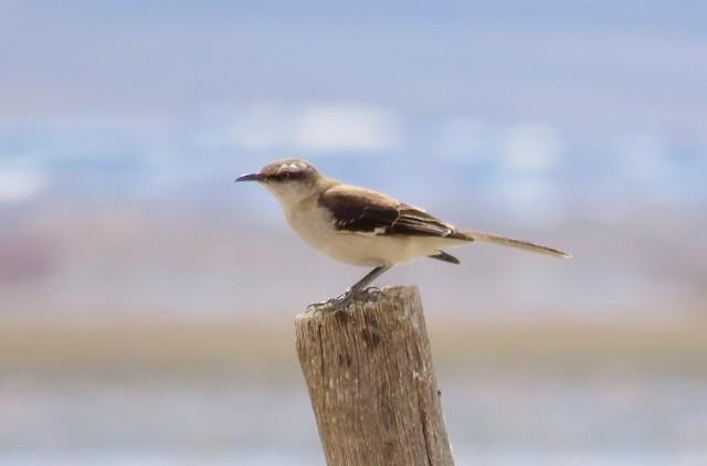 Brown-backed Mockingbird