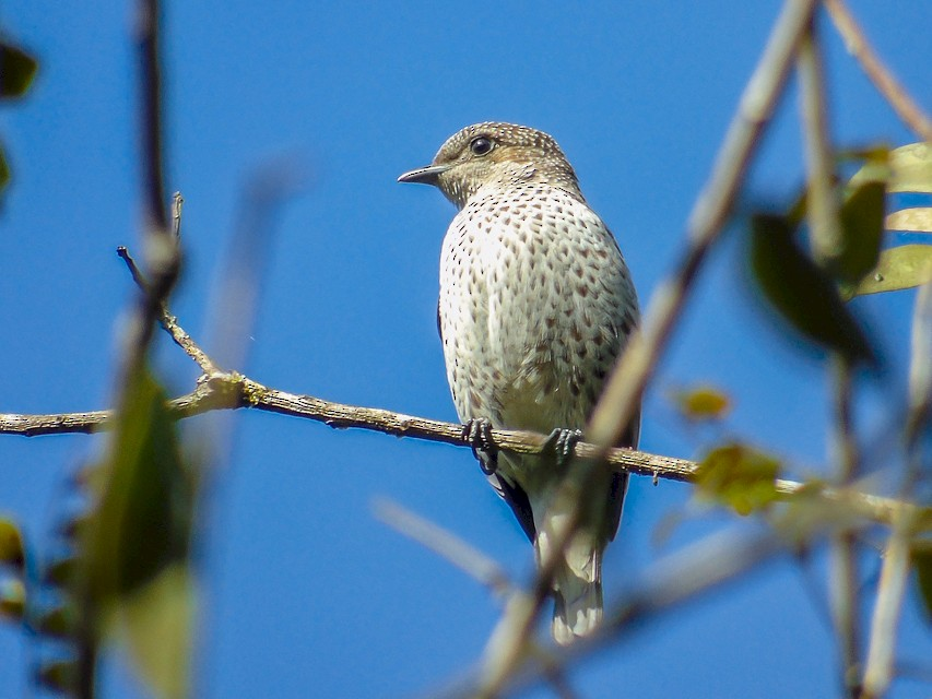 Lovely Cotinga - Roni Martinez