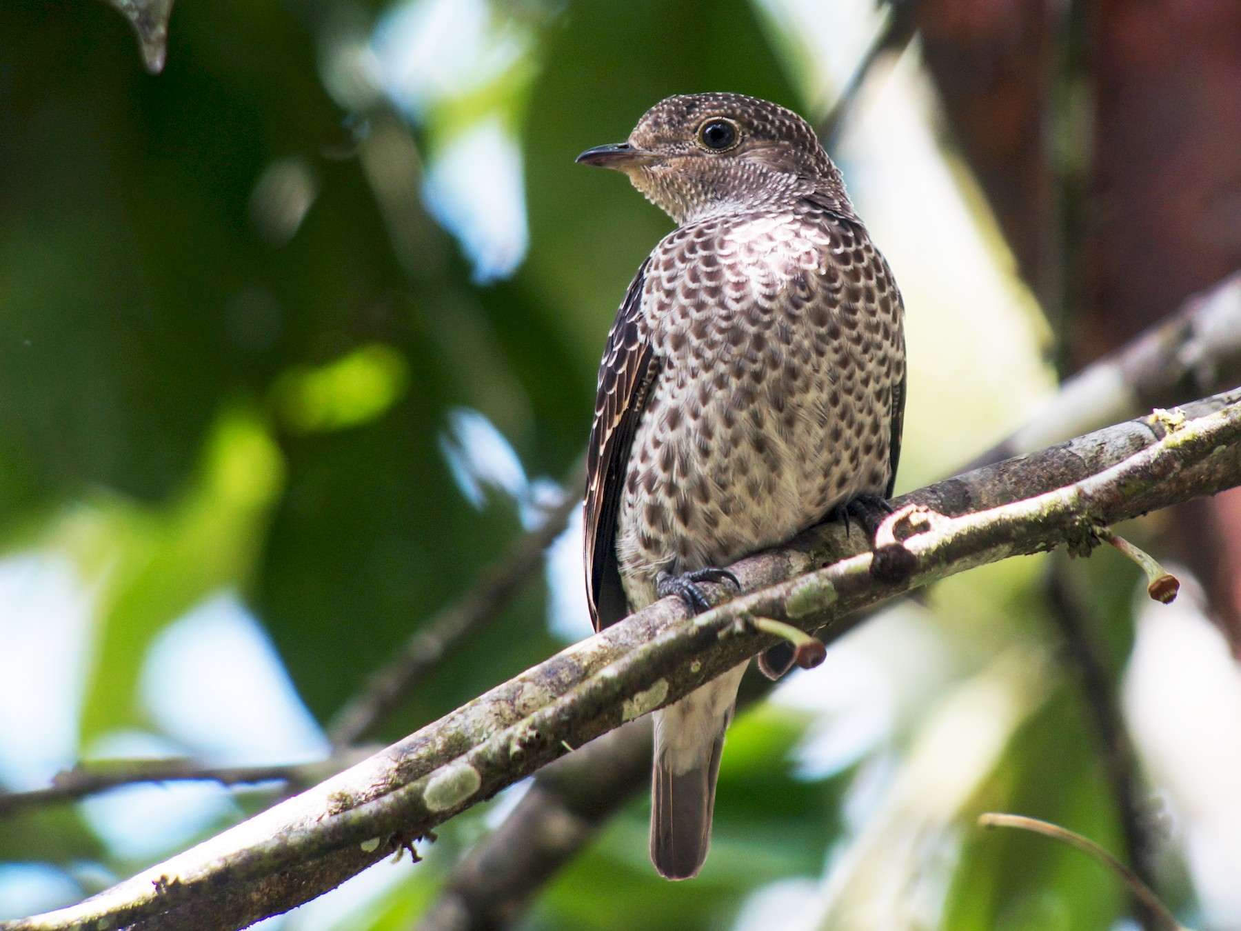 Lovely Cotinga - William Orellana (Beaks and Peaks)