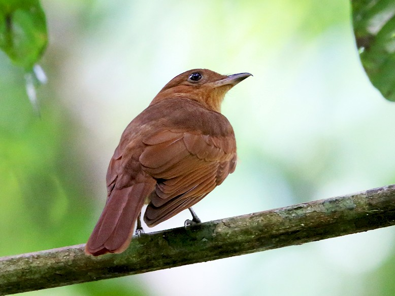 Rufous Piha - Tom Murray