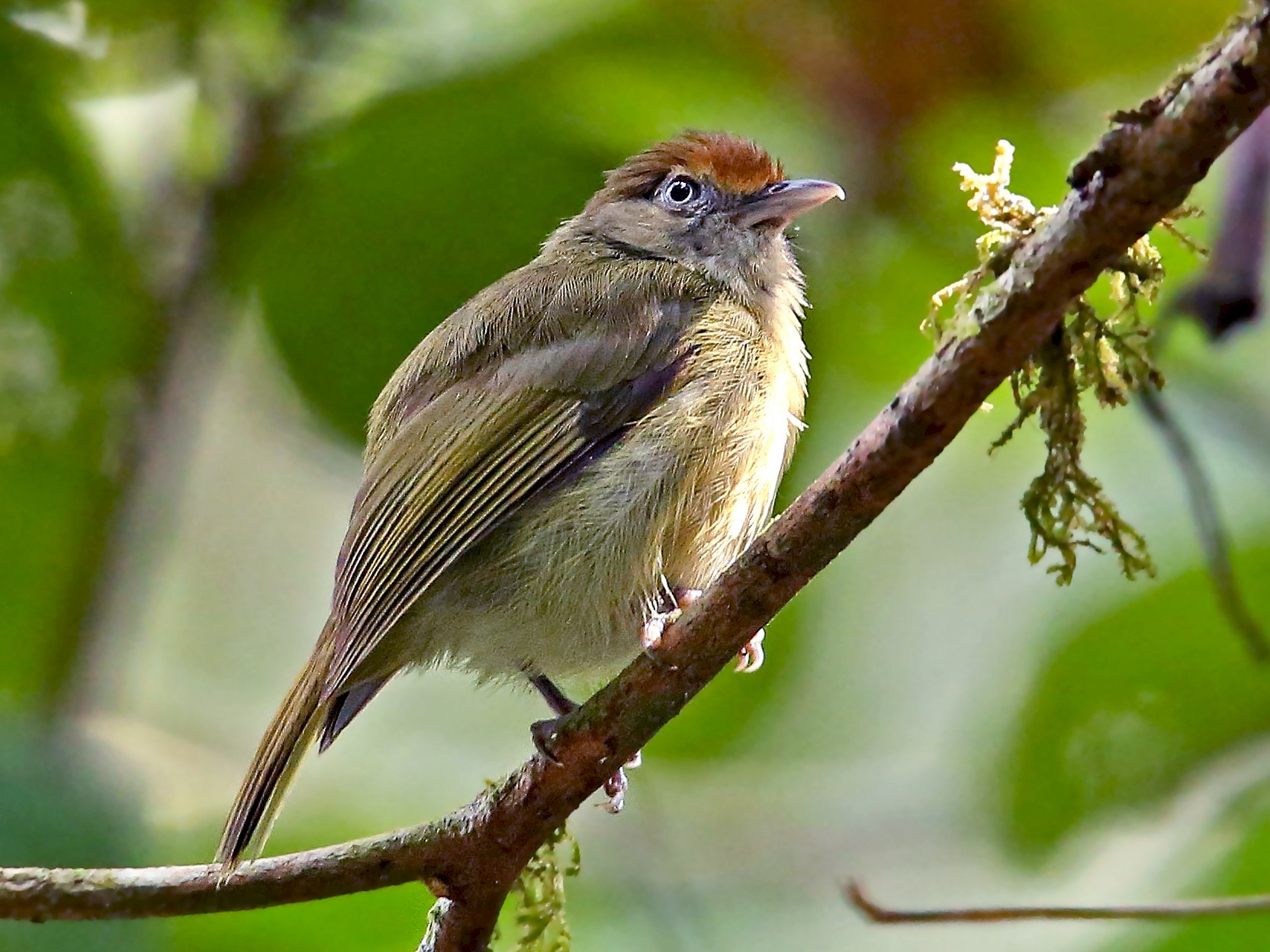 Tawny-crowned Greenlet - Roger Ahlman
