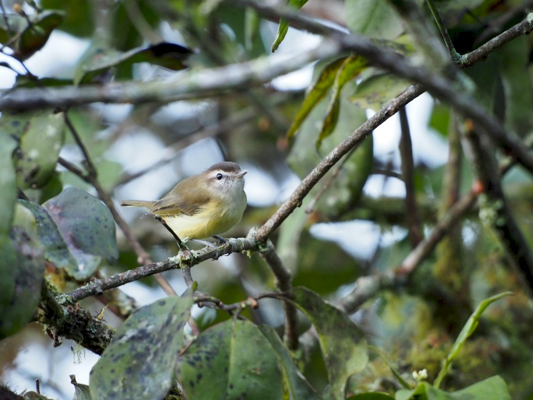 Brown-capped Vireo - Bitty Roy