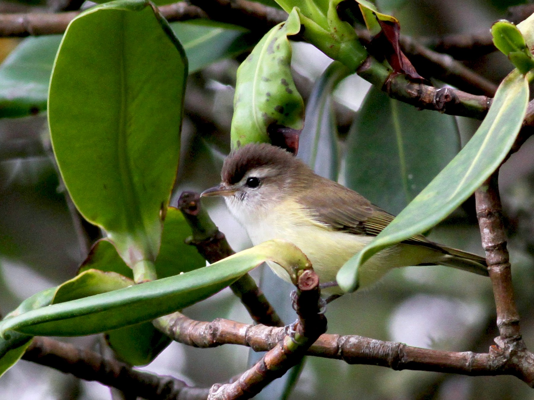 Brown-capped Vireo - Jay McGowan