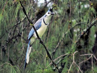 - White-throated Magpie-Jay