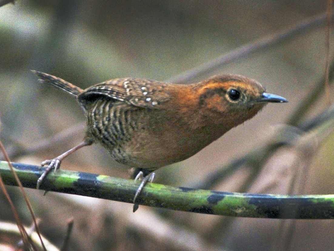 Rufous-browed Wren - Alan Van Norman