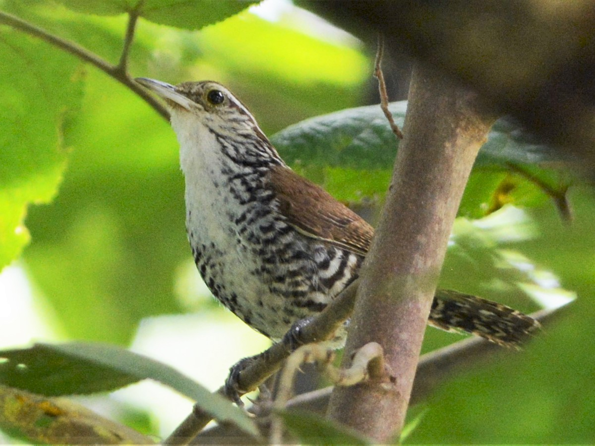 Banded Wren - David Hollie