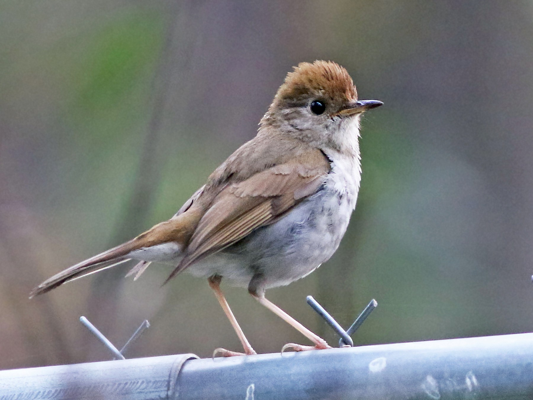 Russet Nightingale-Thrush - Andrew Spencer