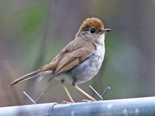 - Russet Nightingale-Thrush
