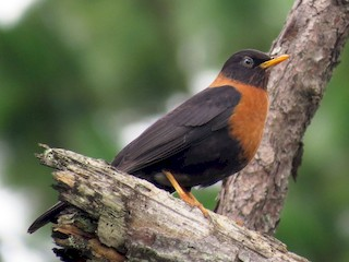 - Rufous-collared Robin