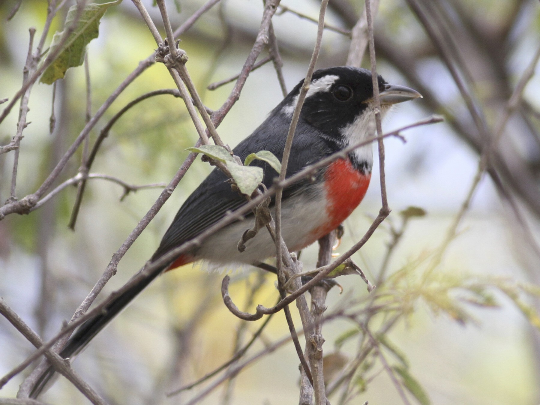 Red-breasted Chat - Dan Maxwell
