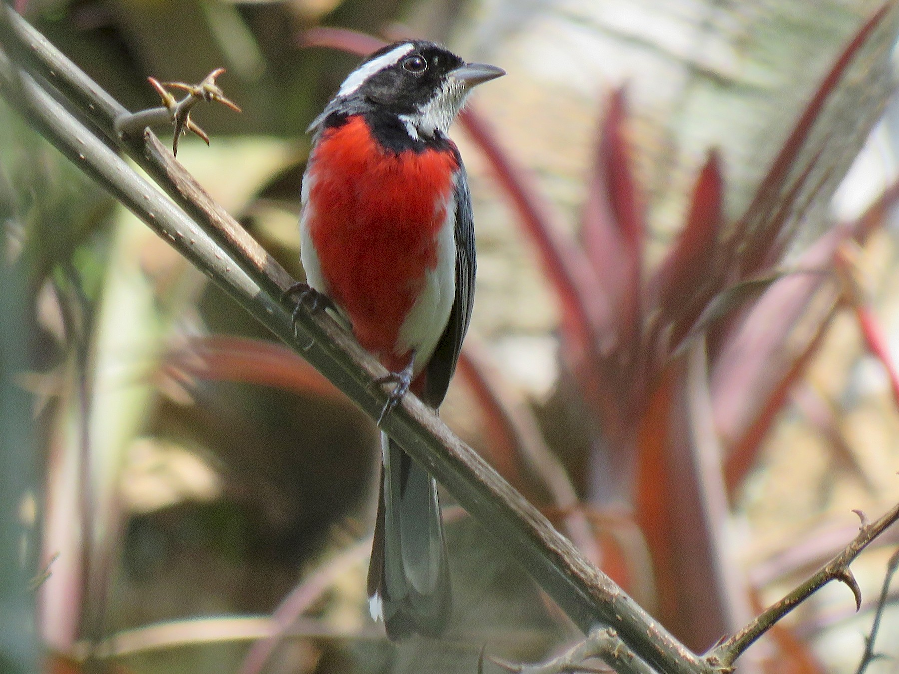 Red-breasted Chat - Jan Hansen
