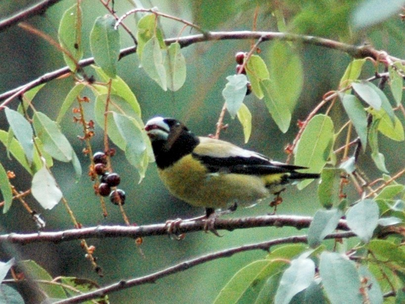 Hooded Grosbeak - David Wheeler