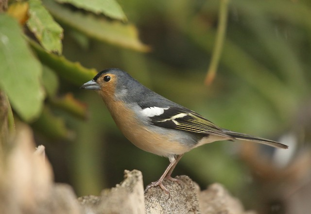 Common Chaffinch (Canary Is.)