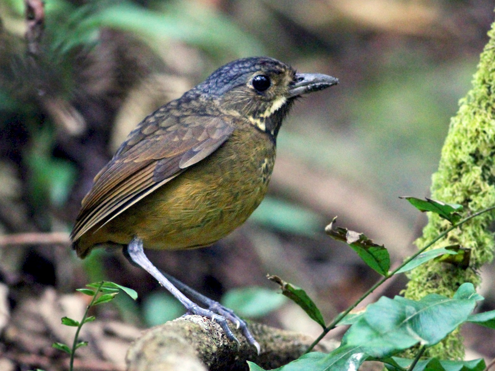 Scaled Antpitta - Andrew Spencer