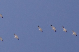 Ross's Goose, ML42922311