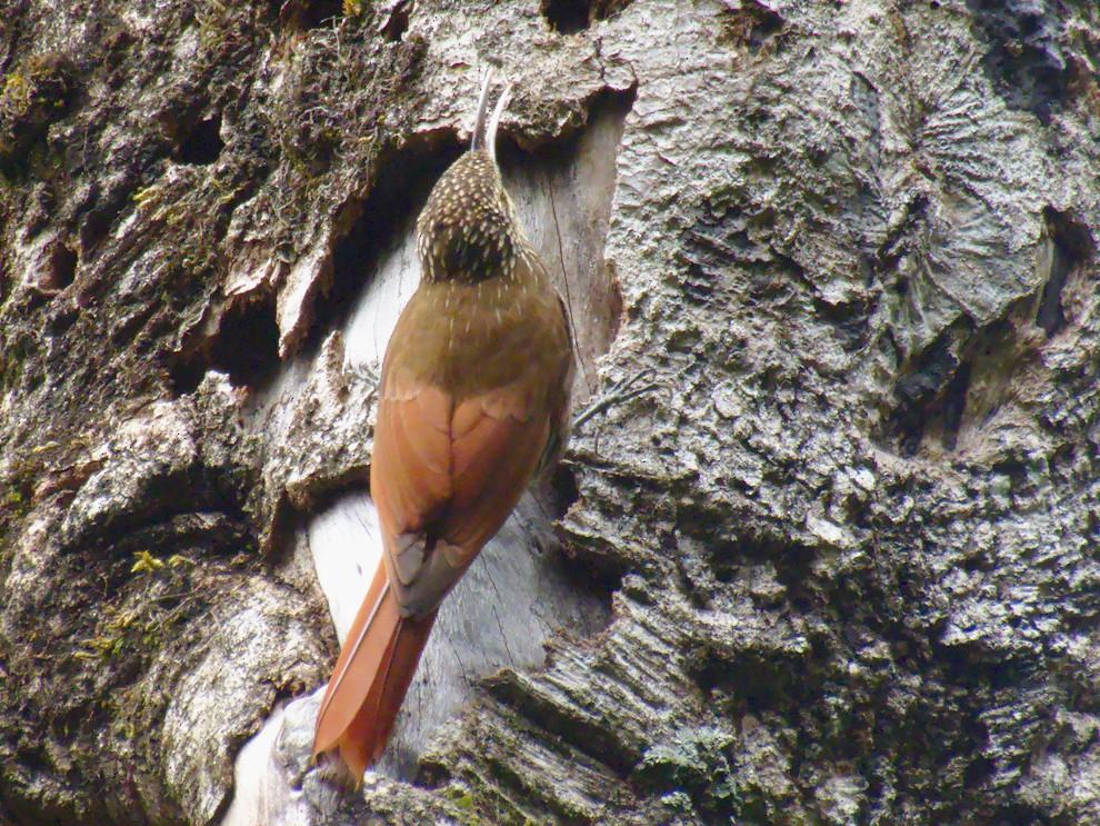 Spot-crowned Woodcreeper - Sebastián Pardo