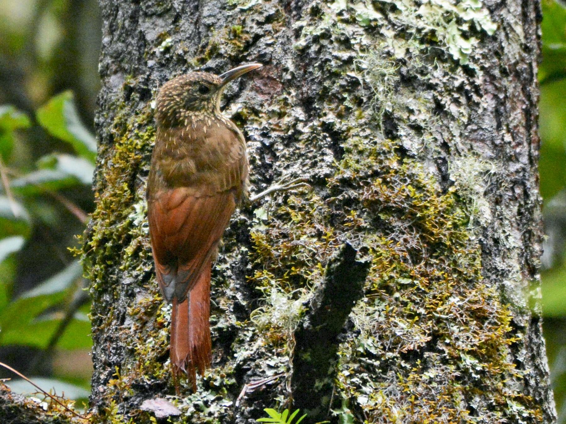 Spot-crowned Woodcreeper - Maria Jose Lou