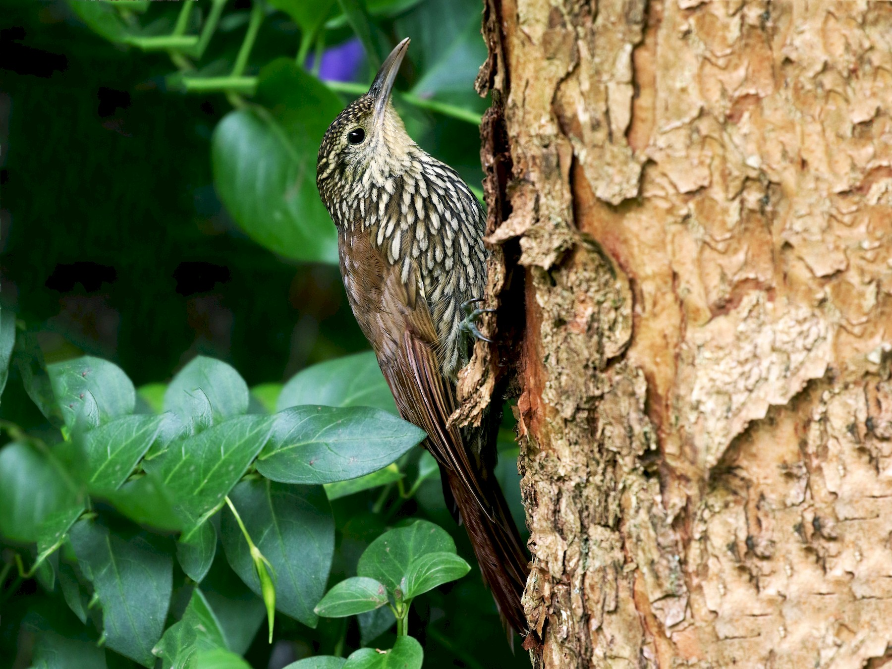 Spot-crowned Woodcreeper - Andrew Spencer