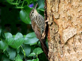 - Spot-crowned Woodcreeper