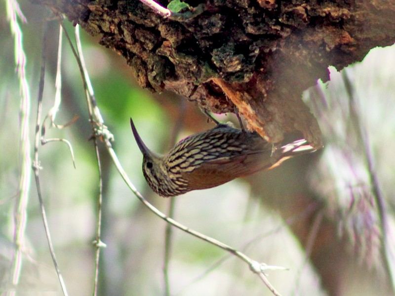 White-striped Woodcreeper - Julio Alejandro Alvarez Ruiz
