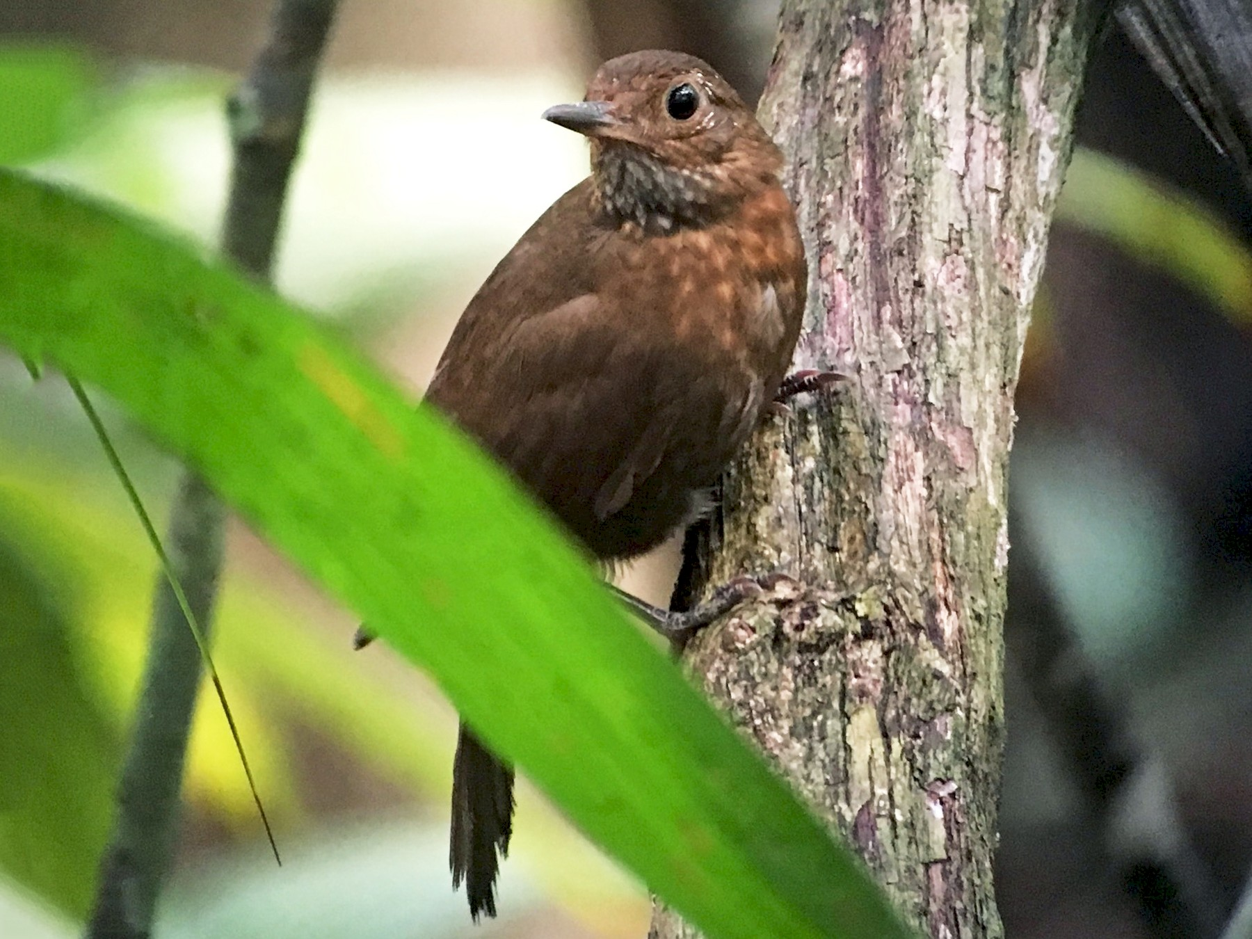 Scaly-throated Leaftosser - Carlos Bethancourt