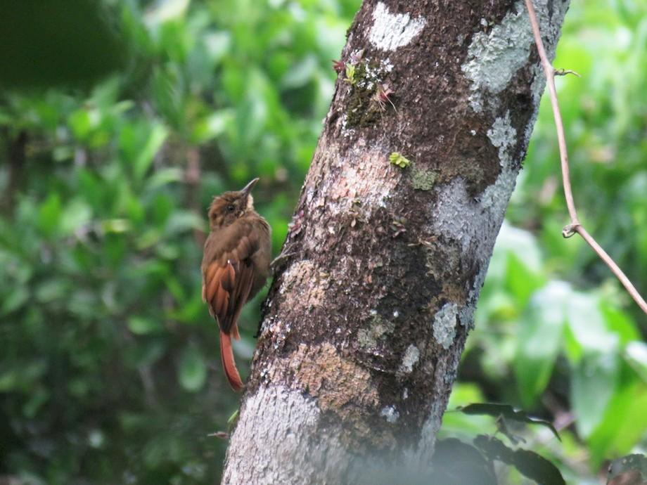 Tawny-winged Woodcreeper - Seth Inman