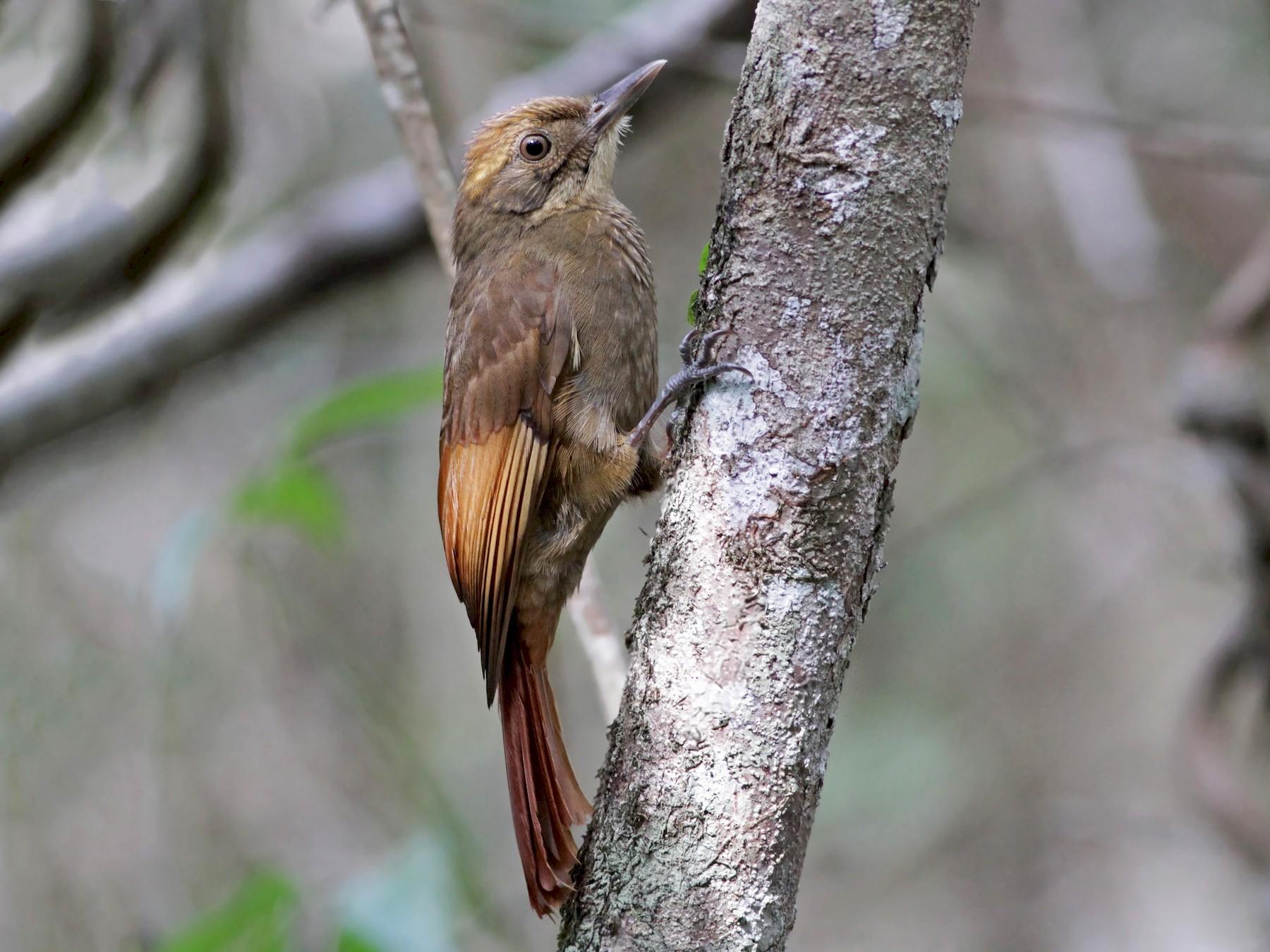 Tawny-winged Woodcreeper - Ian Davies