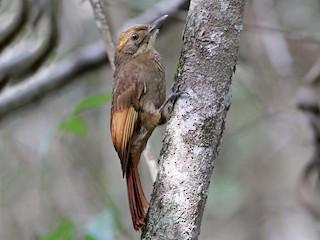 - Tawny-winged Woodcreeper