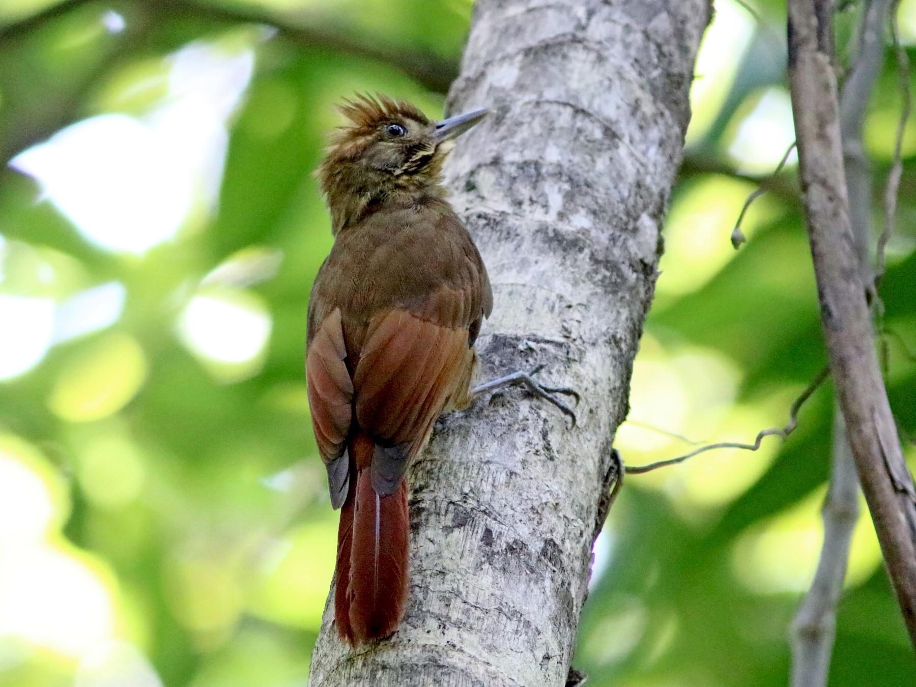 Tawny-winged Woodcreeper - John Drummond