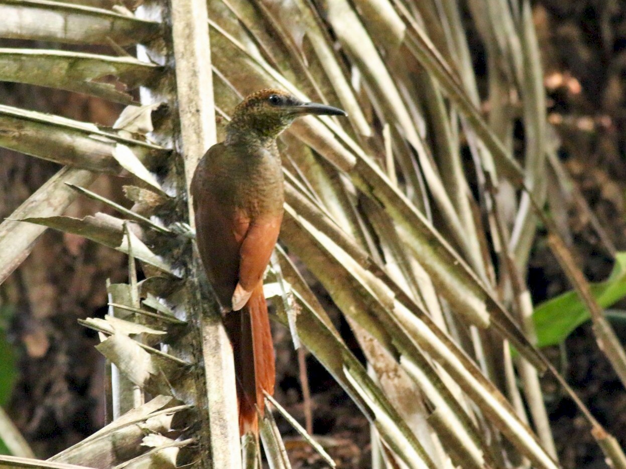 Northern Barred-Woodcreeper - Yousif Attia