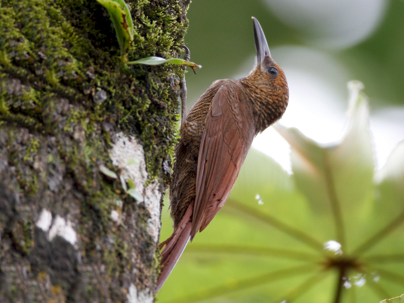 Northern Barred-Woodcreeper - Matt Bango