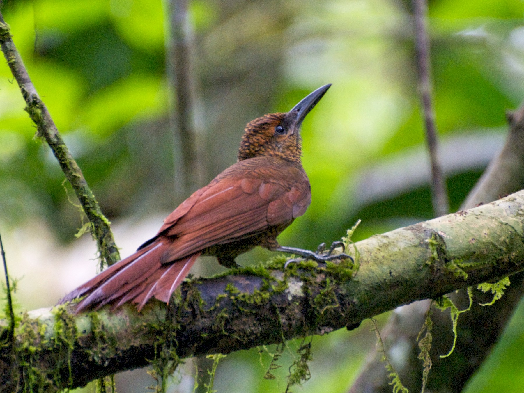 Northern Barred-Woodcreeper - Christian  Nunes