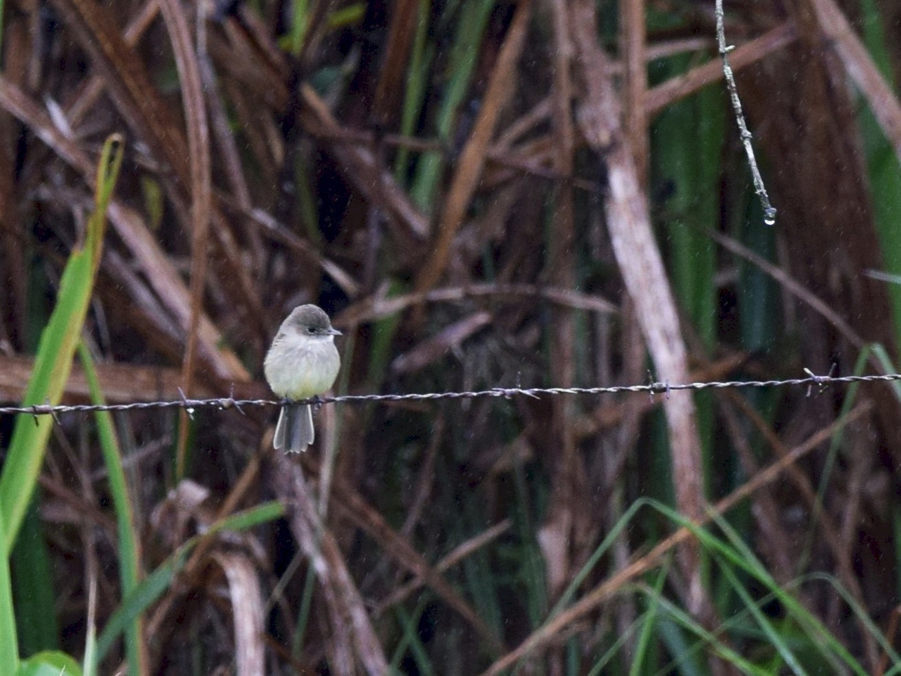 White-throated Flycatcher - Andy Reago &  Chrissy McClarren