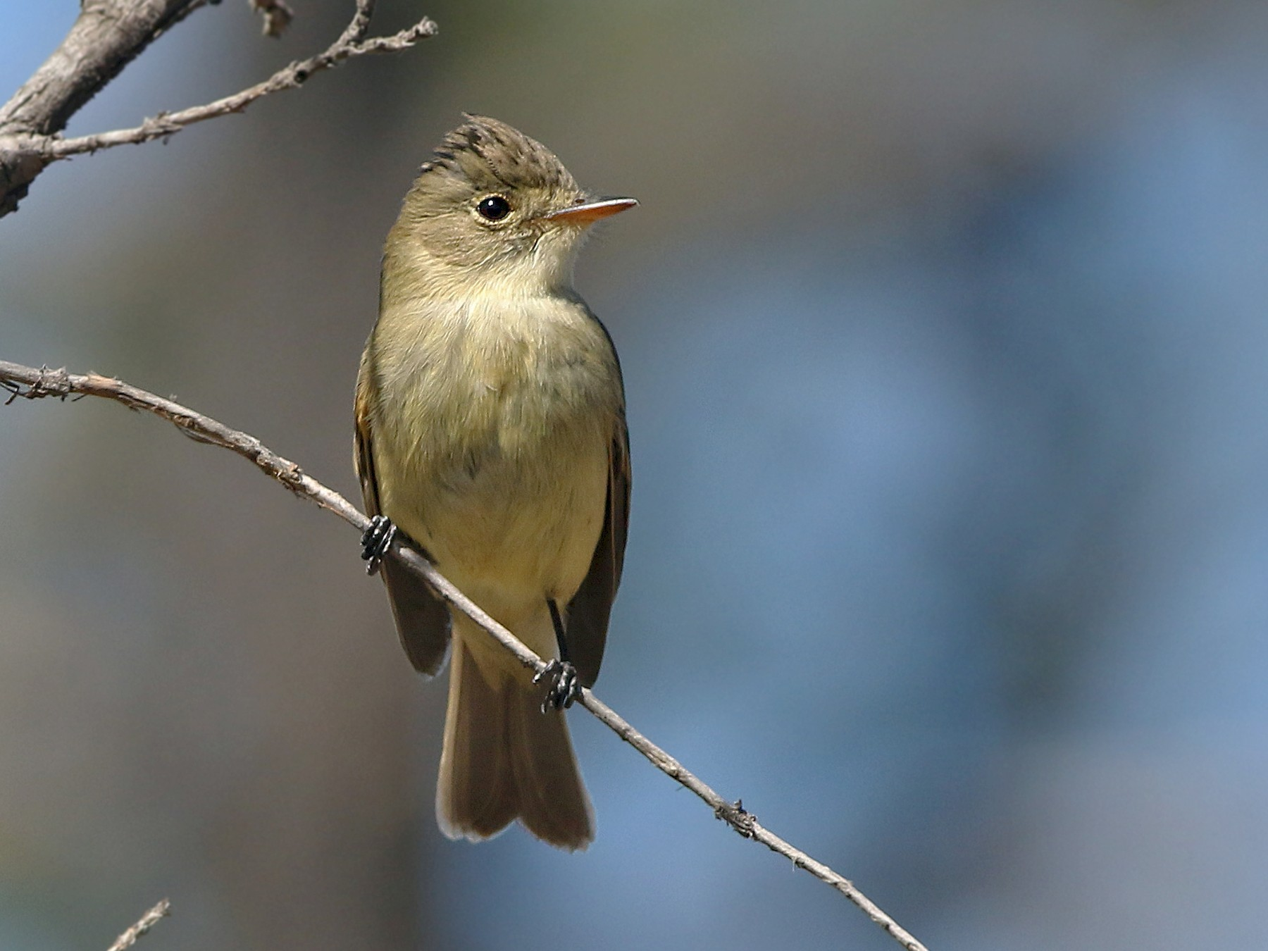 White-throated Flycatcher - Andrew Spencer