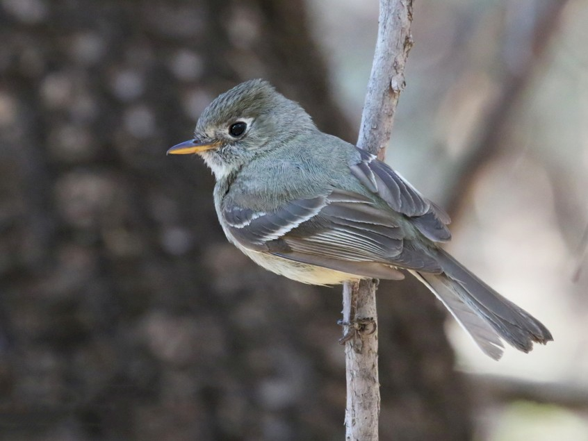 Pine Flycatcher - Chris Benesh