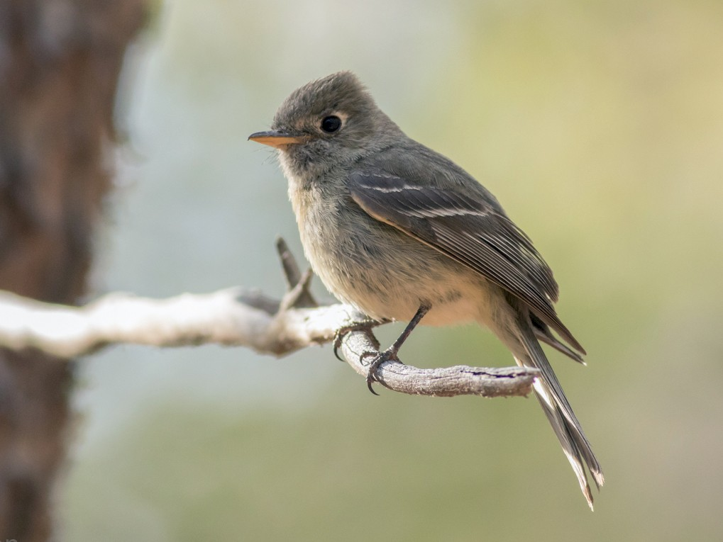 Pine Flycatcher - Tom Johnson