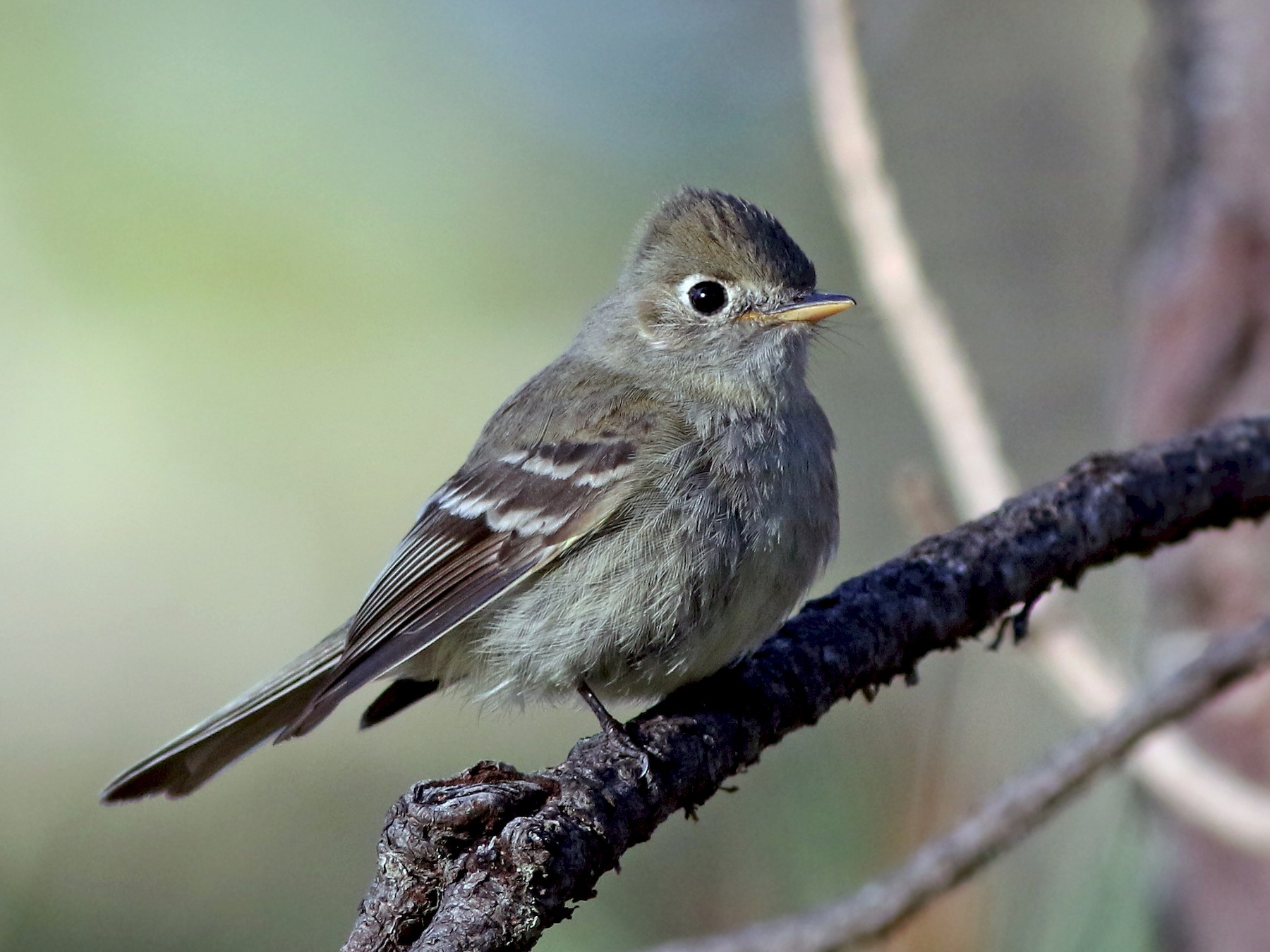 Pine Flycatcher - Andrew Spencer