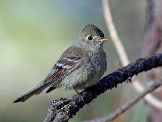 - Pine Flycatcher