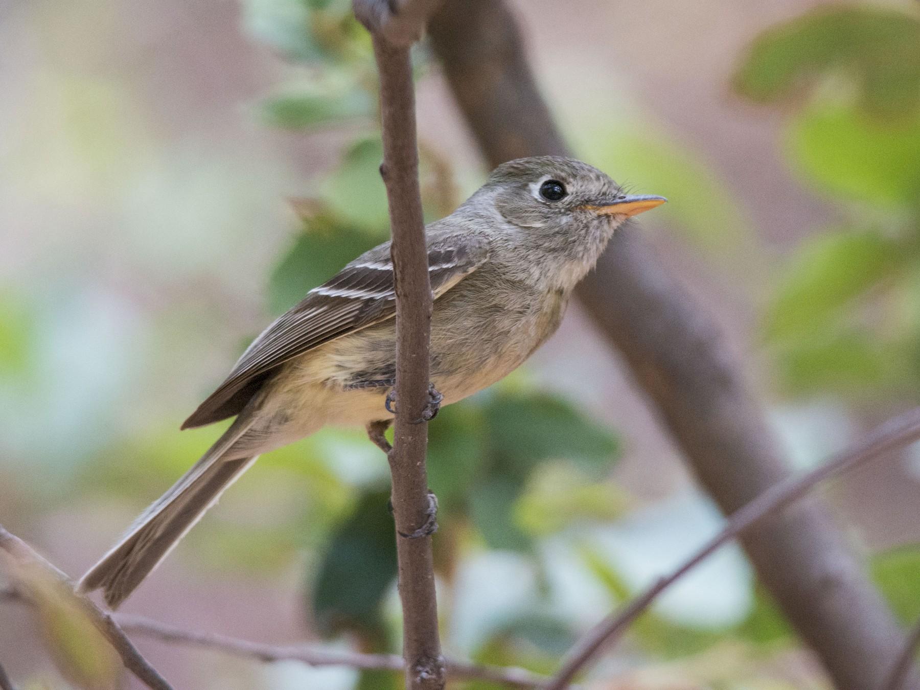 Pine Flycatcher - Walker Noe