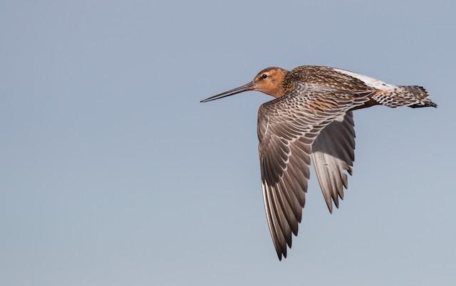 Bar-tailed Godwit (European)