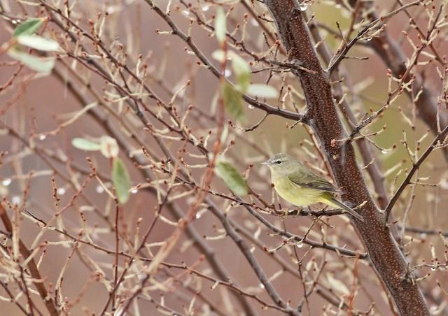 Orange-crowned Warbler (Gray-headed)