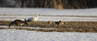 Snow Goose, ML42950711
