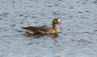 Greater White-fronted Goose, ML42960361