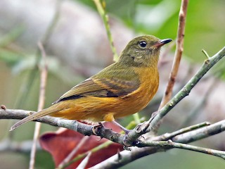 - Ochre-bellied Flycatcher