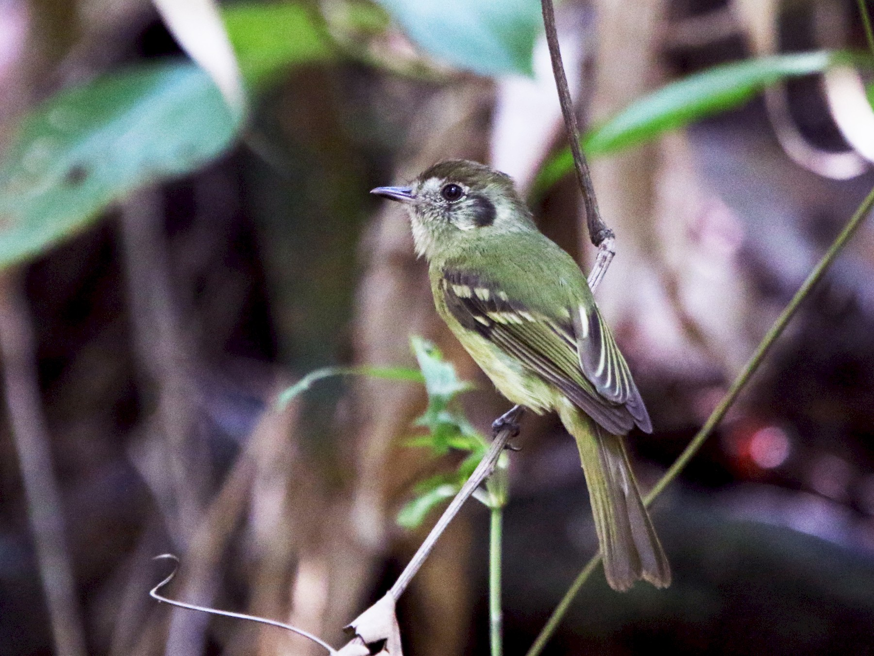 Sepia-capped Flycatcher - Thompson Ian