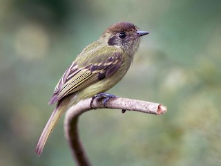 - Sepia-capped Flycatcher