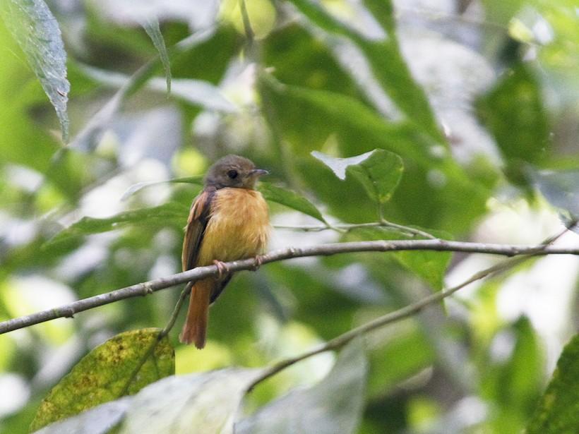 Ruddy-tailed Flycatcher - Marvin Tórrez