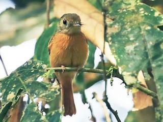 - Ruddy-tailed Flycatcher
